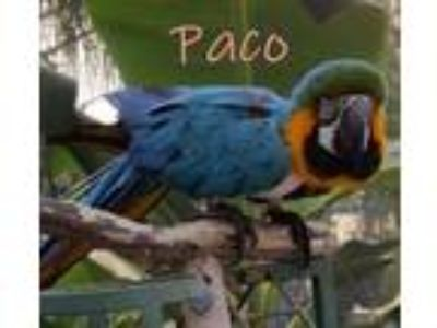 Adopt Paco a Macaw