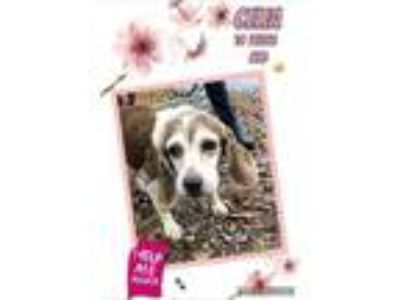 Adopt Celia - Donations Needed for HW Treatment! a Beagle