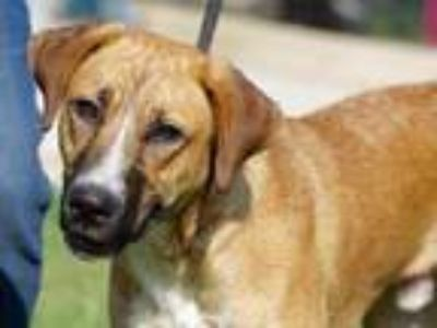 Adopt Chevy Chase a Red/Golden/Orange/Chestnut Mixed Breed (Large) / Mixed dog