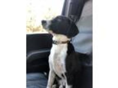 Adopt Gumbo a Black - with White Beagle dog in Walker, LA (24647134)