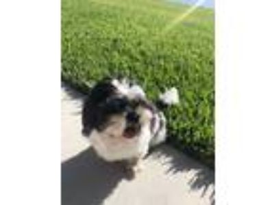 Adopt Lucky a Black - with White Shih Tzu / American Staffordshire Terrier /
