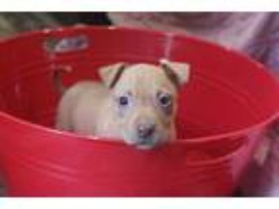 Adopt Dove a Red/Golden/Orange/Chestnut American Pit Bull Terrier / Mixed dog in