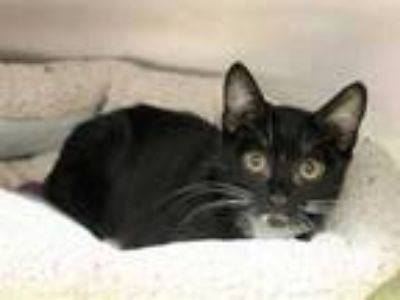 Adopt AUDREY a Black & White or Tuxedo Domestic Shorthair / Mixed (short coat)