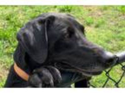Adopt Ellie a Black Labrador Retriever