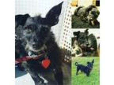 Adopt Charlie a Black Wirehaired Fox Terrier / Dachshund / Mixed dog in Los