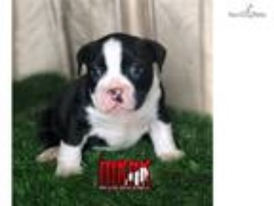 Exotic/American bully puppy for sale