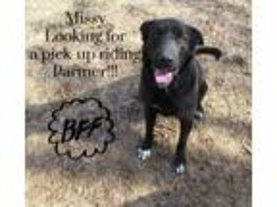 Adopt Missy a Black - with White Shepherd (Unknown Type) / Labrador Retriever /