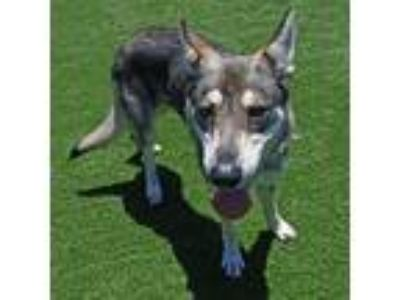 Adopt Mango a Siberian Husky / Mixed dog in Mipiltas, CA (25636802)