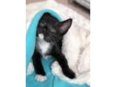 Adopt Sushi a Black & White or Tuxedo Domestic Shorthair / Mixed cat in