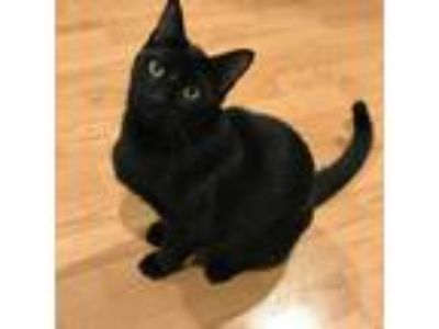 Adopt Berlioz a All Black Domestic Shorthair / Mixed cat in Muskegon