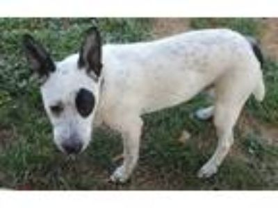 Adopt Blue a White - with Black Australian Cattle Dog dog in Springtown