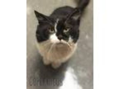 Adopt Copernicus a White Domestic Shorthair / Domestic Shorthair / Mixed cat in