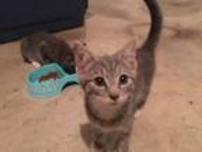 Adopt Possum a Gray, Blue or Silver Tabby Domestic Shorthair (short coat) cat in
