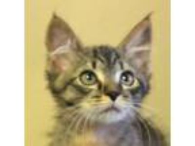 Adopt Emme a Brown or Chocolate Domestic Shorthair (short coat) cat in Walnut