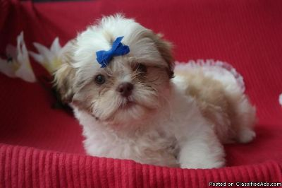 Super Cute Pure Shih Tzu Puppies in need of New Home
