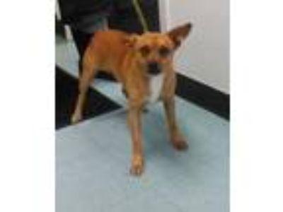 Adopt TINY a Brown/Chocolate Feist / Mixed dog in Clinton, NC (25657394)