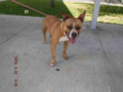 Adopt FREYA a Brown/Chocolate - with White American Pit Bull Terrier / Mixed dog