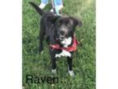 Adopt Raven a Collie / Labrador Retriever / Mixed dog in Stover, MO (24850798)