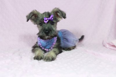 Adorable Mini Female Schnauzer Puppy Available For Sale in Las Vegas , Nevada