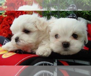 Maltese PUPPY FOR SALE ADN-129929 - Maltese Puppies