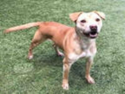 Adopt TAWNY a Red/Golden/Orange/Chestnut - with White American Pit Bull Terrier