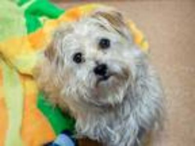 Adopt SALVADOR a White Terrier (Unknown Type, Medium) / Mixed dog in Martinez