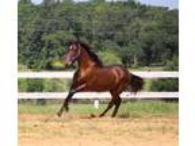 ANCCE Inscribed Blood Bay Andalusian colt with international bloodlines