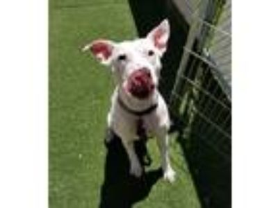 Adopt Amaretto a White Mixed Breed (Medium) / Mixed dog in Bedford