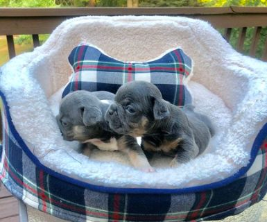 French Bulldog PUPPY FOR SALE ADN-94764 - BLUE TRI MALE FRENCH BULLDOG