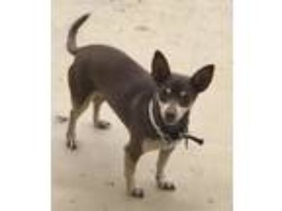 Adopt Tank a Brown/Chocolate - with Tan Miniature Pinscher / Miniature Pinscher