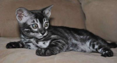 Silver Charcoal Bengal kittens