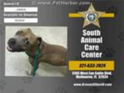 Adopt MABLE a Brown/Chocolate - with White Mixed Breed (Medium) / Mixed dog in