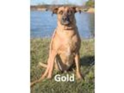 Adopt Gold a Brown/Chocolate - with Black Shepherd (Unknown Type) / Mixed dog in