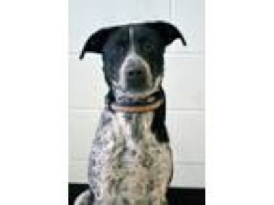Adopt Axle a Cattle Dog / Pointer / Mixed dog in Logan, UT (25313859)