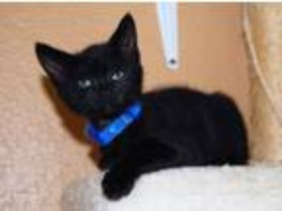 Adopt Jello a All Black Domestic Shorthair / Mixed (short coat) cat in North