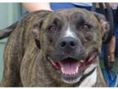 Adopt awesome, amazing Dallas a Pit Bull Terrier