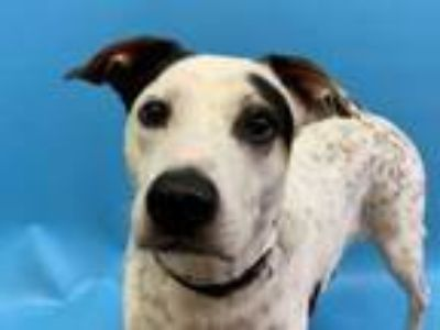 Adopt Captain a Labrador Retriever, Cattle Dog