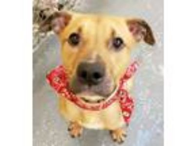 Adopt Mr Butters a American Staffordshire Terrier