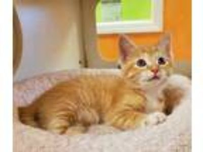 Adopt Ben a Orange or Red Domestic Shorthair / Mixed cat in Benton