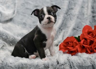 Zoey Female Boston Terrier AKC
