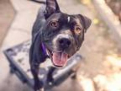 Adopt ALVIN a Black - with White American Pit Bull Terrier / Mixed dog in