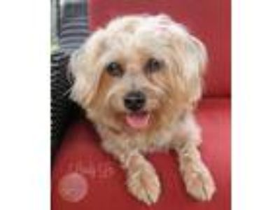Adopt Lindy Lu a Yorkshire Terrier