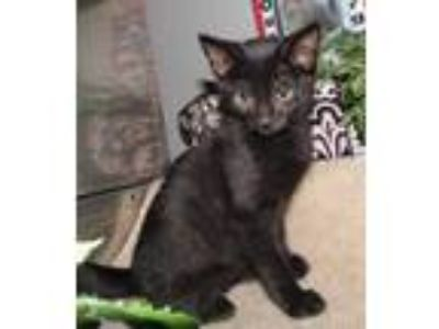 Adopt Elliot a All Black Domestic Shorthair / Domestic Shorthair / Mixed cat in
