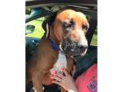 Adopt Tyson a Tricolor (Tan/Brown & Black & White) Boxer / Mixed dog in Dumont