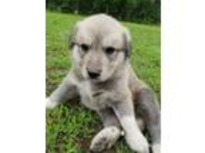 Adopt Tacoma (Snowelle's Pups) a Great Pyrenees