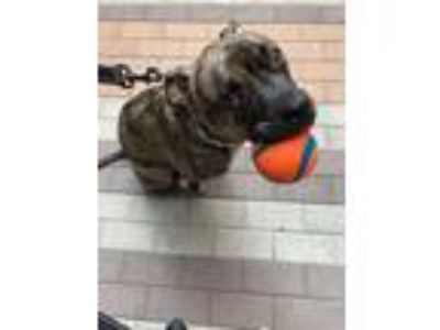 Adopt Mo a Brindle American Staffordshire Terrier / Boxer / Mixed dog in Los