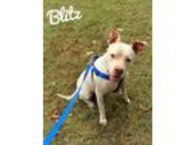 Adopt Blitz a American Staffordshire Terrier