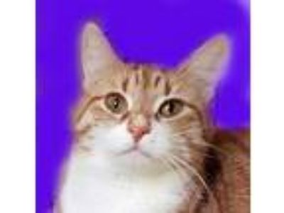 Adopt Christine a Domestic Short Hair