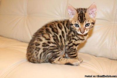 delightful temperament bengal kittens