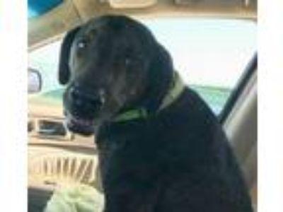Adopt Bailey a Labrador Retriever, Plott Hound